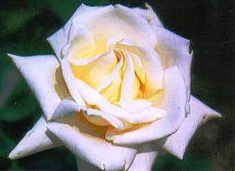 1-rose0007.JPG