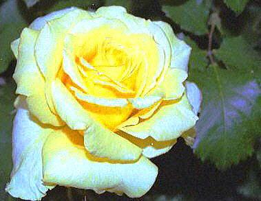 5-rose10.JPG