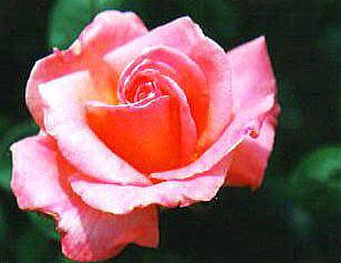 8-rose0008.JPG